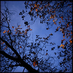 oak leaves & sky