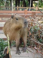 animal, zoo, rodent, fauna, capybara,