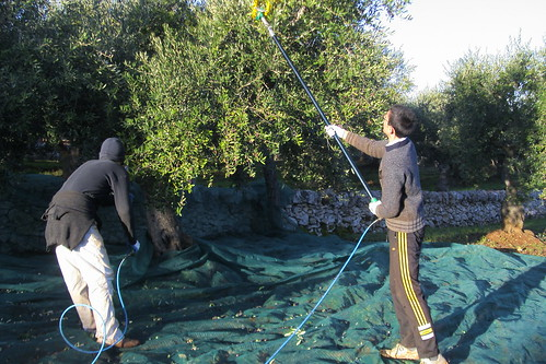 Raccolta olive - campagna 2008-09
