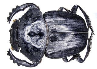 Pachylomera femoralis Kirby, 1828