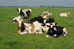 Cows near Koudekerk