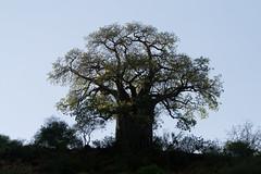 branch, leaf, tree, nature, flora, adansonia, savanna,