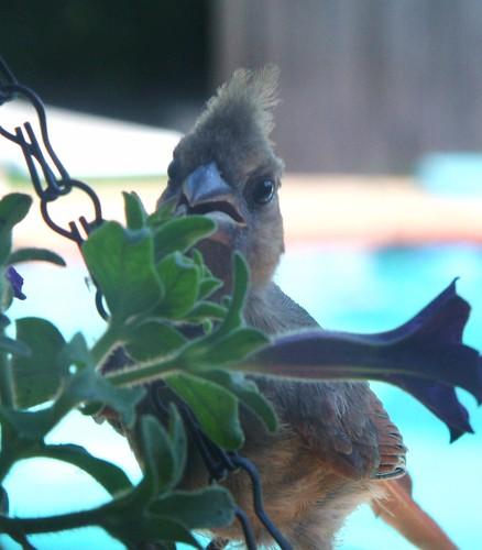 Baby Cardinal