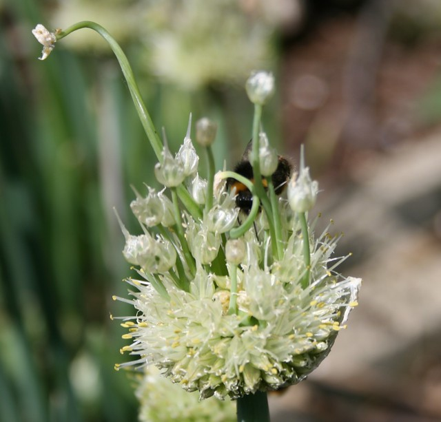 Bee on Welsh onion