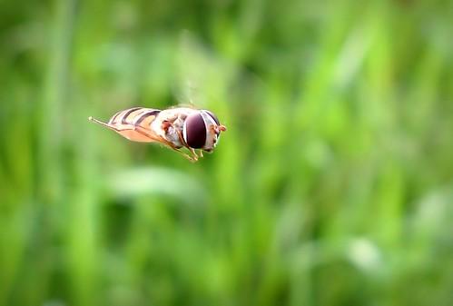 summer macro green nature canon suomi finland insect flying inflight wings maria flight ps images sue pointshoot hoverfly kesä kerimäki luonto laakso naturesfinest hyönteinen kukkakärpänen anttola easternfinland buginflight canonpowershota710is marialaakso sue323 insectphototgraphy