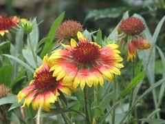 gaillardia, annual plant, flower, plant, herb, wildflower, flora,