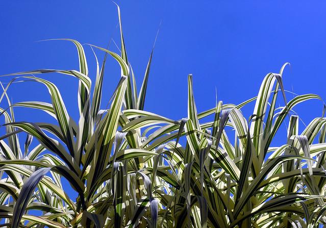 Arundo donax variegata #1