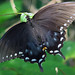Spicebush Swallowtail - Photo (c) Lisa Brown, some rights reserved (CC BY-NC)