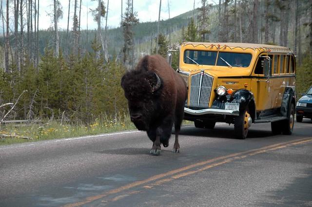 Bisonte en la carretera
