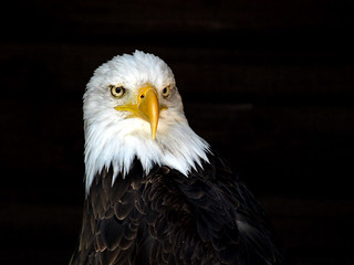 Weisskopfseeadler / Bald Eagle