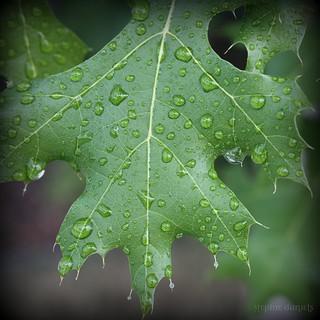Leaf Dew