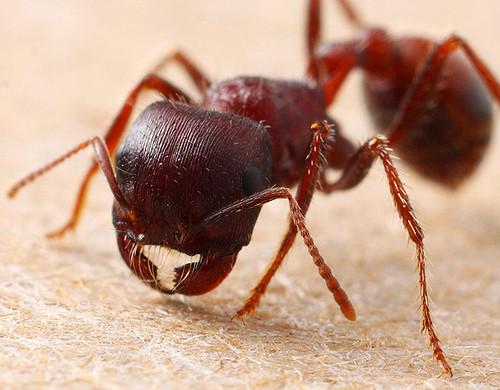 Combat-ant