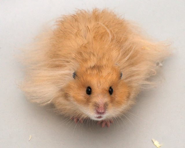 Our Golden Hamster A Nice Model Flickr Photo Sharing