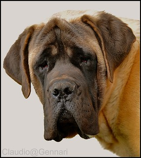 I am an English Mastiff ...