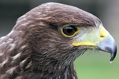 Harris Hawk - Woburn Safari Park