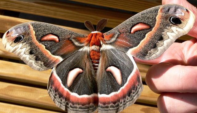 Cecropia Moth  W V