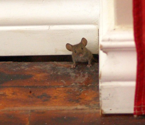 Billy, our house mouse
