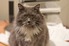 domestic long-haired cat, animal, british semi-longhair, small to medium-sized cats, pet, siberian, cat, carnivoran, whiskers, nebelung, norwegian forest cat,