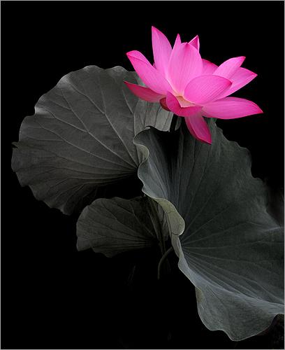 Flower lotus flower pink flower pink fleur de lotus - Fleur de lotus symbole ...