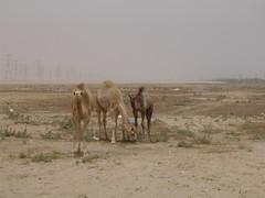 Camels 010