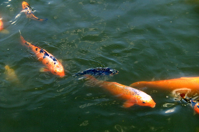 Big koi fish flickr photo sharing for Biggest koi fish