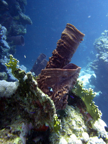 Giant tube sponge on Claudia reef