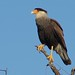 Southern Caracara - Photo (c) Edwin Harvey, some rights reserved (CC BY-NC-SA)
