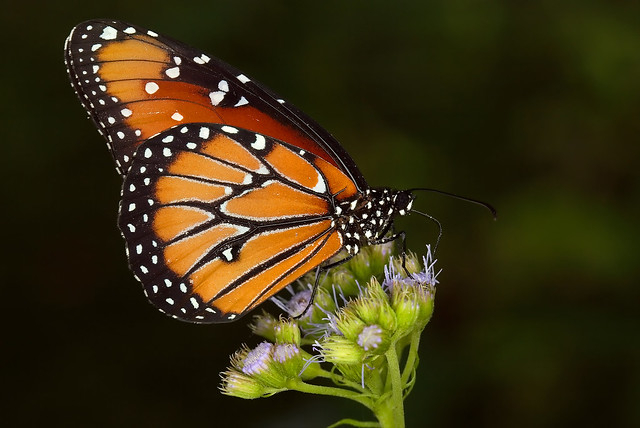 Queen Butterfly at Zilker Botanical Gardens, Austin, TX