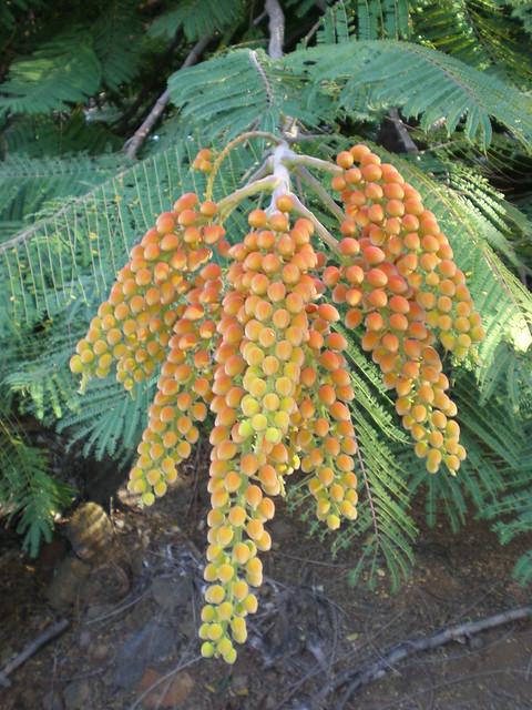 Colville's Glory fruits, Koko Crater Botanical Garden, Honolulu