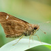 Clouded Skipper - Photo (c) Jerry Oldenettel, some rights reserved (CC BY-NC-SA)