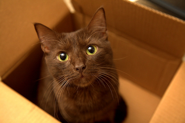 Гавана браун, фото породы кошек изображение картинка