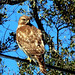 Red-shouldered Hawk, Buteo lineatus immature