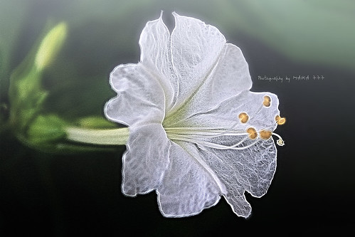 FLOR EN LA NIEBLA // FLOWER IN THE FOG