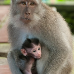 Monkey Mother and Young Child - Ubud, Bali