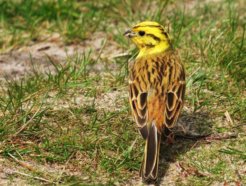 yellowhammer billy clapham yellow bird