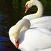 Boston Public Gardens - Swans