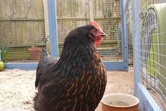 Pretty Chicken