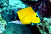 Longnose butterflyfish - Similan Islands, Thailand
