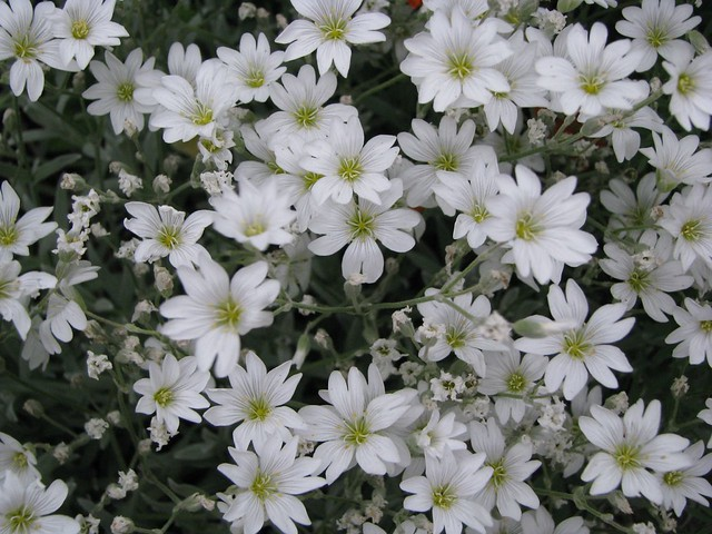petites fleurs blanches flickr photo sharing. Black Bedroom Furniture Sets. Home Design Ideas