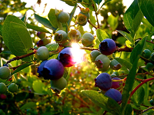 Blueberries | by quacktaculous