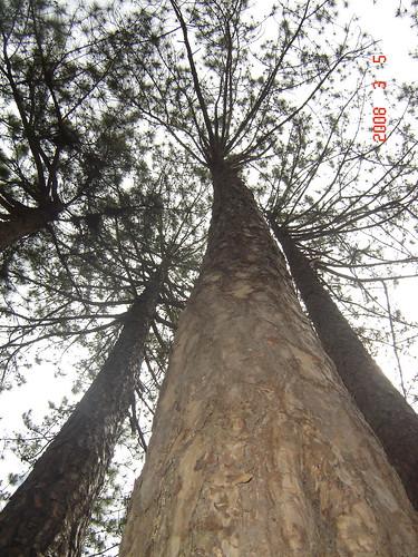 Pinus dalatensis (Thông Đà Lạt) ở Đà Lạt