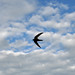 Small photo of Swallow