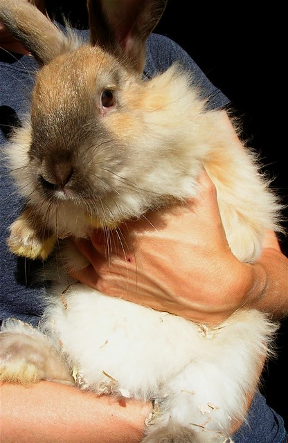 Marcel Oliver the French Angora Bunny