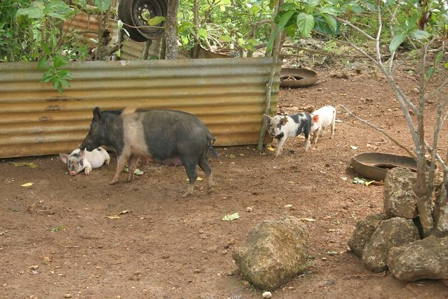 Pigs in Tu'anuku Village, Vava'u Island, Tonga.