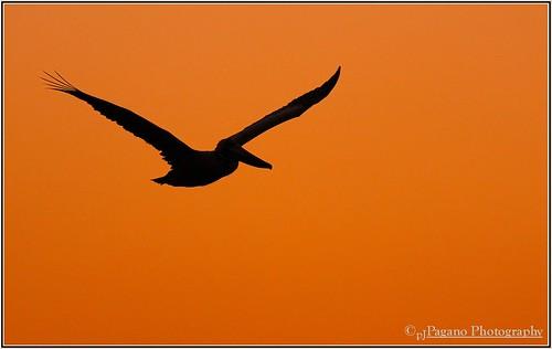 sunset nature beauty evening birding flight pelican canon40d pelicanusoccidentalus canonef400f56l