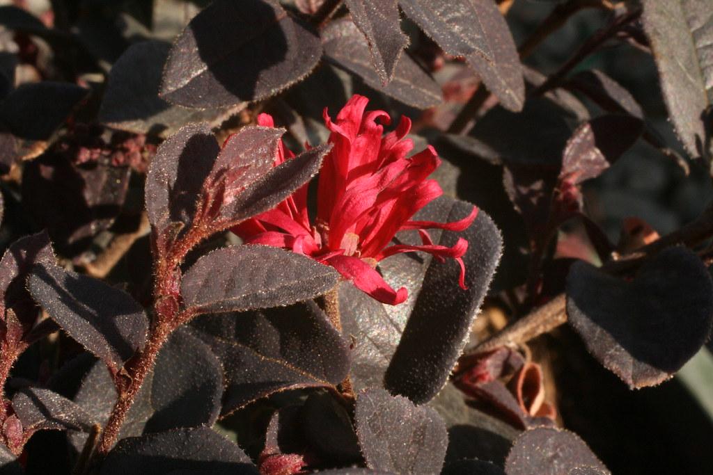Ever Red Ever Red™ Fringe Flower