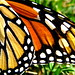 Small photo of Monarch Adornment