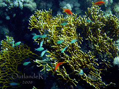 coral reef, algae, coral, seaweed, fish, coral reef fish, organism, marine biology, stony coral, freshwater aquarium, natural environment, underwater, reef,