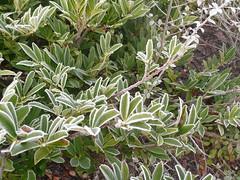 flower(0.0), arctostaphylos uva-ursi(0.0), produce(0.0), bay laurel(0.0), evergreen(1.0), shrub(1.0), pistacia lentiscus(1.0), tree(1.0), plant(1.0), subshrub(1.0), flora(1.0),