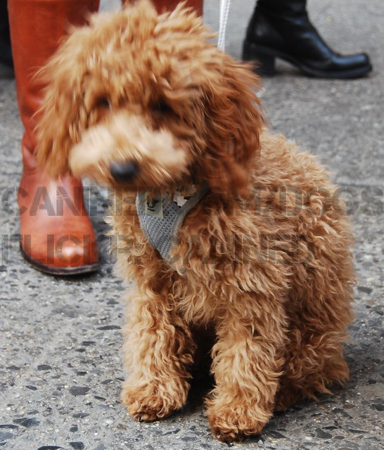 canined nyc groomed cute apricot toy & red miniature poodle dog ...